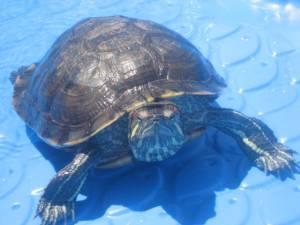 Cuff Turtle